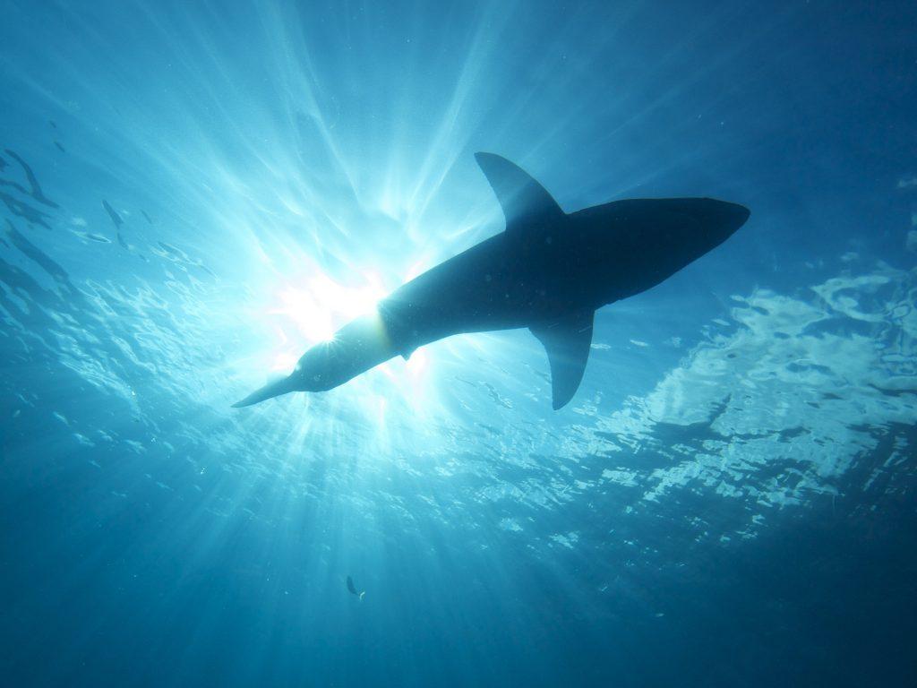 """Tubarões sabem onde fica a sua """"casa"""" e conseguem nadar de volta mesmo após longas viagens."""