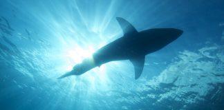 A habilidade dos tubarões