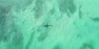 Tubarão bate ponto