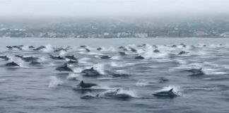 Golfinhos dão show