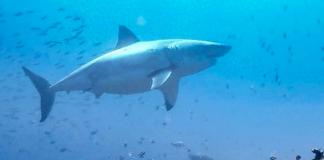 Tubarão-branco dá as caras