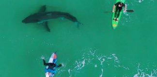 Tubarão visita o pico