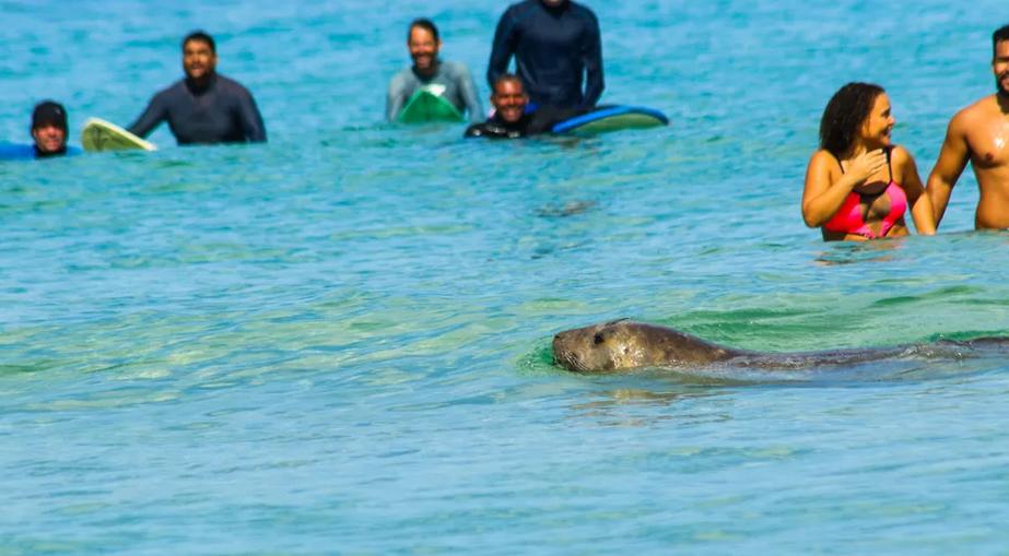 Apesar de rara, aparição de elefante-marinho no Rio não é inédita.