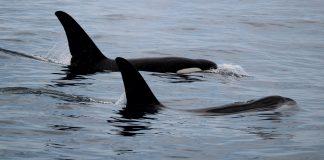 Argonauta monitora orcas