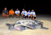 Tartaruga gigante desova em SP