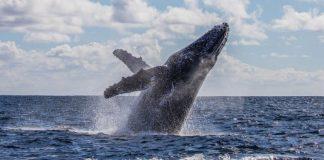 Baleia danifica barco