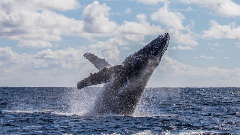Baleias jubarte podem medir até 15 metros.