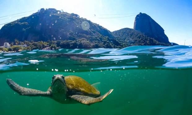 Tartaruga verde flagrada na Praia Vermelha.